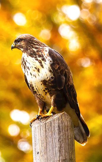 Falco uccelli rapaci Perugia