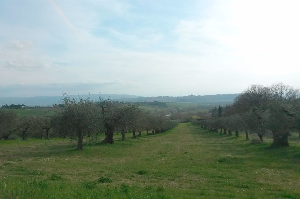 Distesa di ulivi a Sant'Egidio Perugia