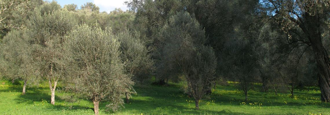 Ulivi Pianello Perugia